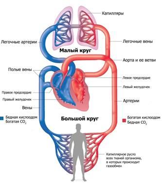 биология лисов сердце 9 класс учебник